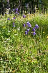 Blühende Gemeine Akelei (Aquilegia vulgaris) auf einer Wiese am Waldrand in den französischen Alpen