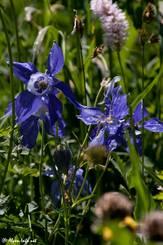 Blühende Alpen-Akelei (Aquilegia alpina) zwischen allerlei anderen Pflanzen