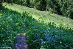 Zahlreiche blühende Exemplare der Alpen-Akelei an einem Waldrand in den französischen Alpen