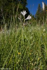 Blühende Alpen-Paradieslilie auf einer Wiese in den französischen Alpen oberhalb von Risoul