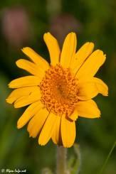 Blüte einer Arnika bei Risoul in Frankreich