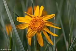 Die gelbe Blüte eine Arnika zwischen Grashalmen in den französischen Alpen (Queyras)