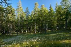 Lichtung in einem lichtdurchfluteten Lärchenwald in den französischen Alpen