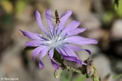 Blau-Violette Blüte eines Blauen Lattichs (Lactuca perennis), gefunden in den französischen Alpen