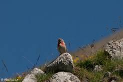 Kleiner Vogel mit roter Brust, vermutlich ein Bluthänfling, auf etwa 2400 Metern Höhe in den französischen Alpen