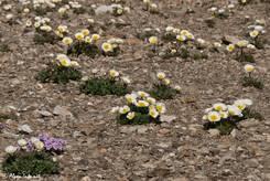 Mehrere blühende Pflanzen des Gletscher-Hahnenfußes in einem Schuttfeld auf etwa 2850 Metern Höhe in den französischen Alpen