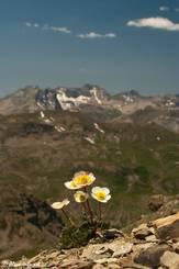 Blühender Gletscher-Hahnenfuß kurz vor dem Gipfel des Cime de la Bonette
