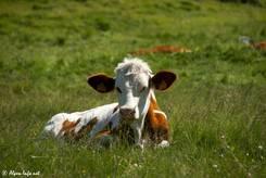 Braun-bunte Kuh auf einer Wiese nicht weit nördlich des Passes