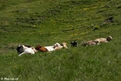Mehrere verschiedenfarbige Kühe liegen auf eine Bergwiese nördlich des Col Agnel