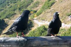 Zwei Alpen-Dohlen an der Gaststätte nahe des Jennergipfels