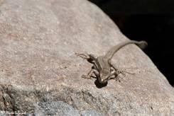 Vermutlich eine Bergeidechse (Zootoca vivipara)
