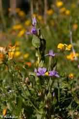Blühender Feld-Kranzenzian (Gentianella campestris) in seiner natürlichen Umgebung in den französischen Alpen