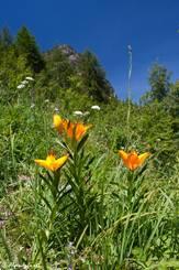 Mehrere Feuer-Lilien im Tal des Guil in den französischen Alpen