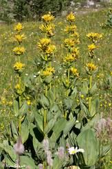 Blühender Gelber Enzian (Gentiana lutea)