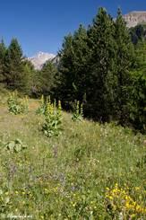 Gelber Enzian und viele andere bunte Blumen auf einer Wiese im französischen Val d'Escreins