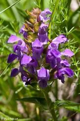 Violette Blüte einer Großblütigen Braunelle (Prunella grandiflora)