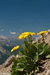 Großblütige Gämswurz (Doronicum grandiflorum) mit ihren gelben Blüten auf etwa 2850 Meter Höhe in den französischen Alpen im Nationalpark Mercantour