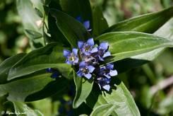 Blick von oben auf einen blau blühenden Kreuz-Enzian