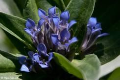 Blaue Blüten des Kreuz-Enzians