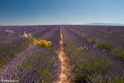 Riesiges Lavendelfeld auf einem Plateau in den provenzalischen Alpen