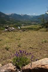 Wild wachsender Lavendel oberhalb der Durance in den französischen Alpen zwischen Briançon und Guillestre