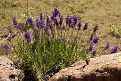 Die selbe wilde Lavendelpflanze noch einmal größer