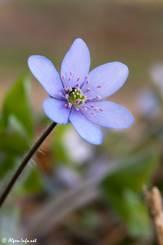 Violette Blüte eines Leberblümchens (Anemone hepatica)