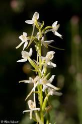 Weiß blühende Orchidee in den französischen Alpen