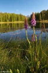 Blühende Orchideen (Mücken-Händelwurz) am Ufer des Lac de la Roue in den französischen Alpen