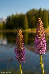 Zwei Blüten des Mücken-Händelwurz (Gymnadenia conopsea) im Queyras