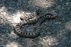 Schlange, vermutlich eine Aspisviper (Vipera aspis)