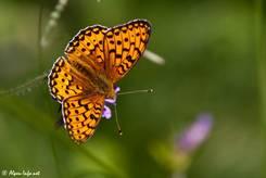 Schmetterling am Ufer des Lac de la Roue in den französischen Alpen, evtl. ein Feuriger Perlmutterfalter (Argynnis adippe)