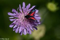 Ein schwarz-rot gepunktetes Widderchen bzw. Blutströpfchen (Zygaena spec.)