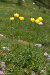 Kleiner Busch blühender Trollblumen in den französischen Alpen