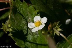 Blüte einer Wald-Erdbeere (Fragaria vesca)
