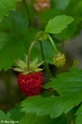Die rote Frucht einer Wald-Erdbeere