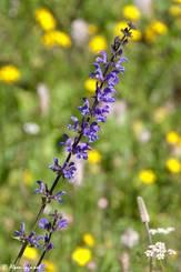 Blühender Wiesensalbei an einem Fundort im Val d'Escreins