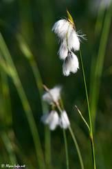 Wollgras (Eriophorum spec.) mit seinen buschigen weißen Fruchtständen wächst meist in sumpfigen Gebieten